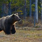 This image has an empty alt attribute; its file name is bear-1-150x150.jpg